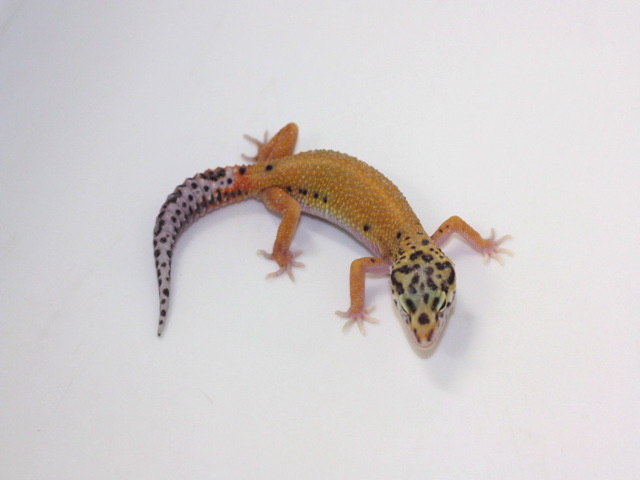 ID:B4-2, Patternless stripe DBL het Radar