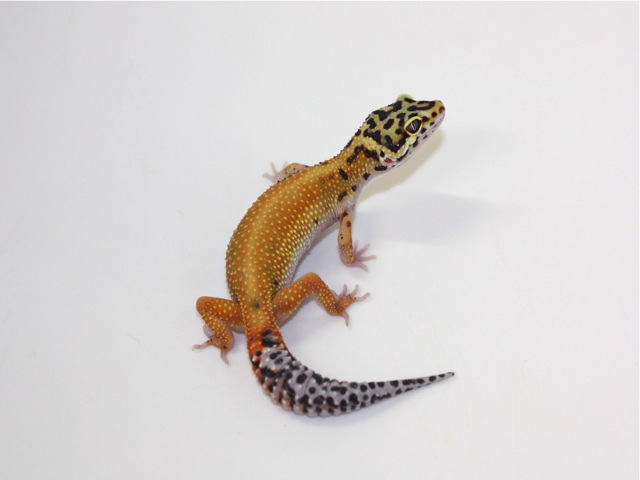 ID:B8-44, Patternless Red stripe DBL het Radar