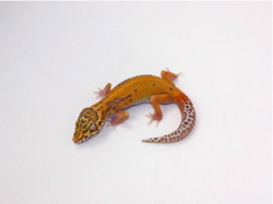 ID:B8-45, Patternless Red stripe Bell het Radar