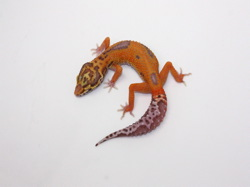 ID:BDA13, Super tangerine patternless red stripe Bell het Radar