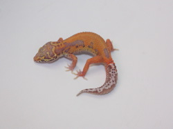 ID:BP64, Patternless Red stripe Bell het Radar
