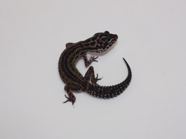 ID:DP3, Hyper melanistic reverse stripe Co-Dom snow
