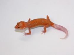 ID:EW1, Super tangerine Aptor enigma het Raptor
