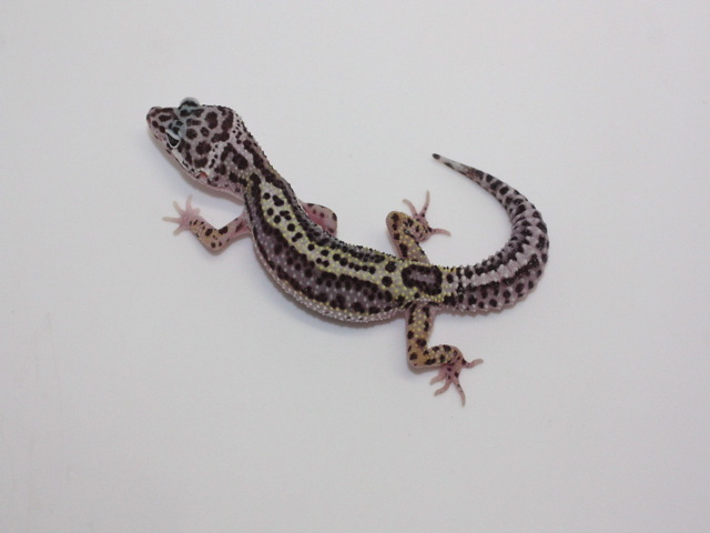 ID:LP5, Co-Dom snow Lavender stripe poss het Tremper