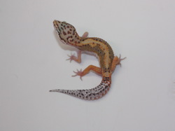 ID:RH12, Red stripe poss het Tremper