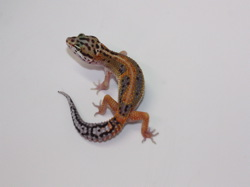 ID:RH14, Red stripe poss het Tremper