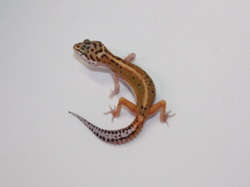 ID:RH15, Red stripe poss het Tremper