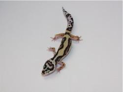 ID:RH1, Bold bandit stripe high contrast