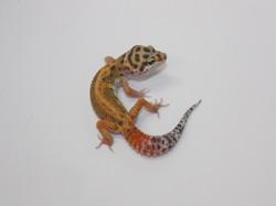 ID:RP94, Red stripe emerine