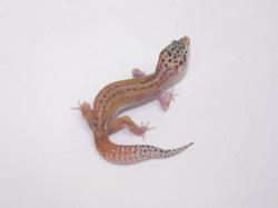 ID:RZT14, Reverse stripe Eclipse poss het Raptor