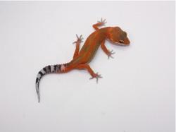 ID:SHDF2, Blood Emerine poss het Raptor