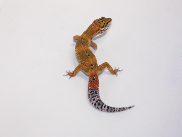 ID:SHQZ14, Tangerine poss het Tremper