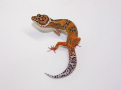 ID:SHQZ66, Blood emerine poss het Raptor