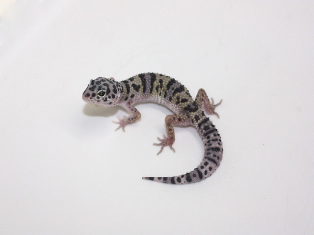ID:SPQZ2, Turkmenicus