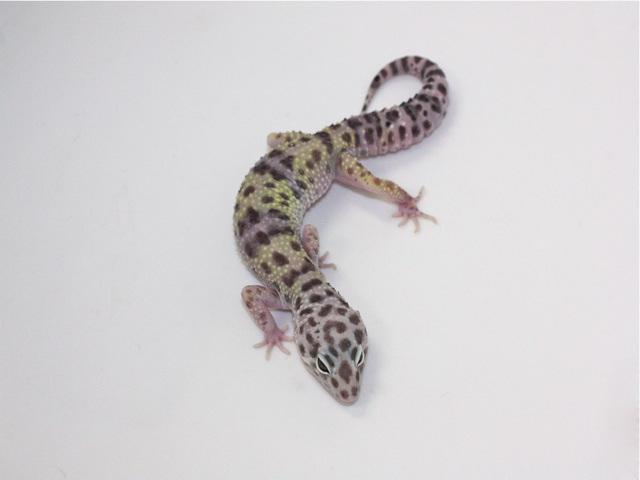 ID:SPYG9, Turkmenicus