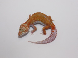 ID:T082, Carrot head high contrast super tangerine Aptor het Raptor