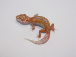 ID:T08, Carrot head high contrast super tangerine reverse stripe Tremper het Raptor