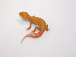 ID:T1Z15, Sunglow Aptor het Raptor