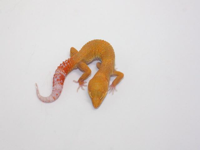 ID:T1Z16, Sunglow Tremper het Raptor