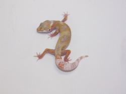 ID:T1Z19, Snowglow Het raptor
