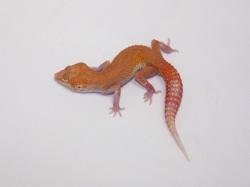 ID:T1Z1, Raptor