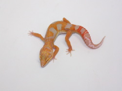 ID:T1Z33, Super tangerine jungle Tremper