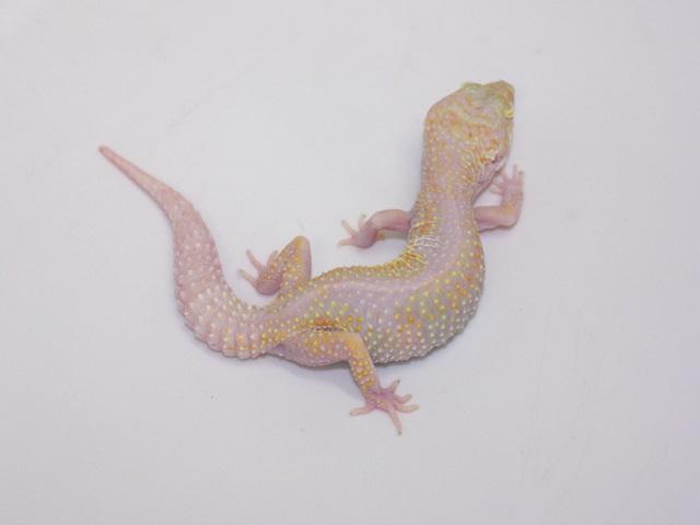 ID:T2Y3, Bold reverse stripe Raptor