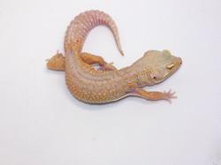ID:T2Y32, Stone wash Tremper het Raptor