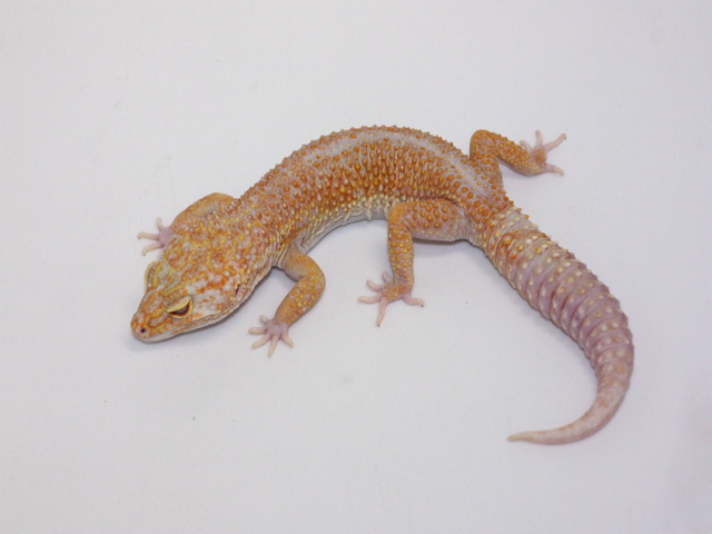 ID:T2Y34, Stone wash blood Tremper het Raptor