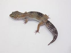 ID:T2Y35, Snow het Raptor