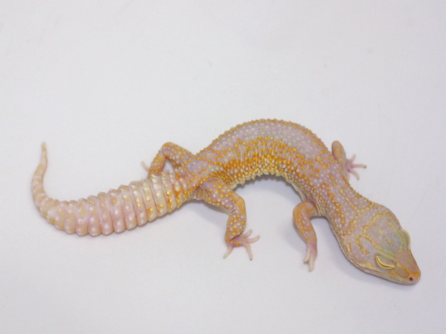 ID:T2Y36, Stone wash Tremper het Raptor