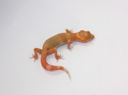 ID:T5-22, Sunglow Tremper