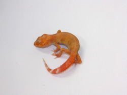 ID:T5-2 , Sunglow Tremper