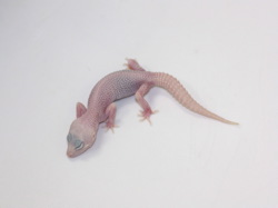ID:T5-3 , Super snow Tremper poss het Raptor
