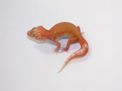 ID:T6-4, Blood Aptor het Raptor