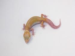 ID:T7-3, Snowglow Het raptor