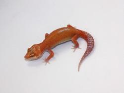 ID:T7-4, Blood Aptor het Raptor