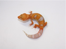 ID:TDF23, Sunglow Tremper het Raptor