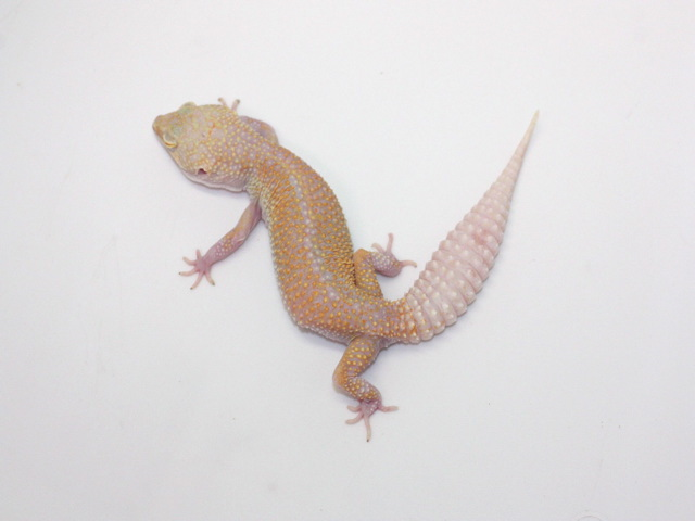 ID:TDG12, Raptor