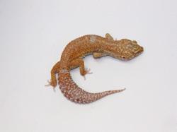ID:TDG15, Stone wash Tremper het Raptor