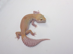 ID:TDG1, Raptor