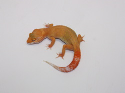 ID:TH032, Sunglow Tremper