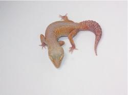 ID:TH101, Bold reverse stripe Tremper het Raptor