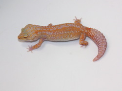 ID:TH10, Super tangerine multi reverse stripe Tremper het Raptor