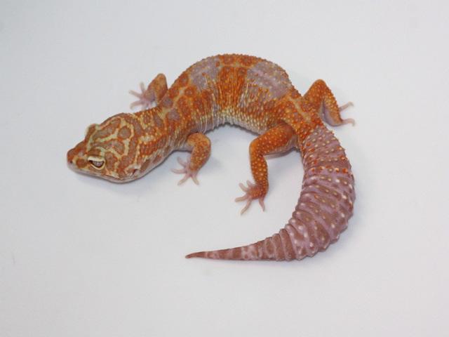 ID:TH62, High contrast super tangerine Tremper het Raptor