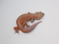 ID:TH6, Super tangerine Tremper het Raptor