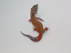ID:THA42, Super tangerine reverse stripe Emerine het Raptor