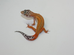 ID:THA4, Reverse stripe Emerine het Raptor
