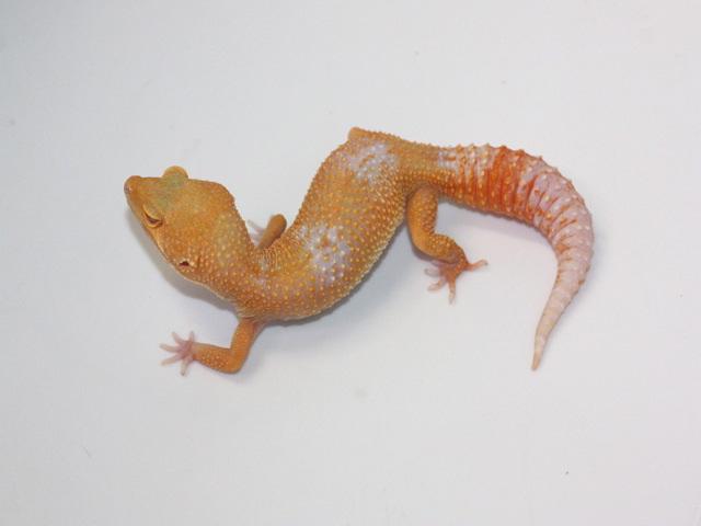 ID:TM2, Sunglow Tremper het Raptor