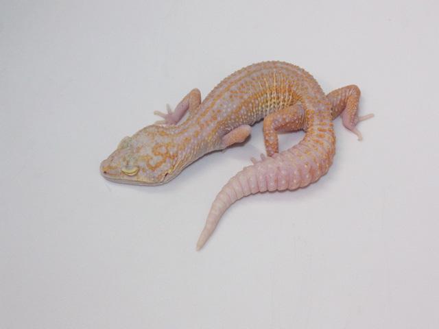 ID:TM23, Stone wash Raptor